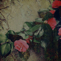 roses melancholy art photography