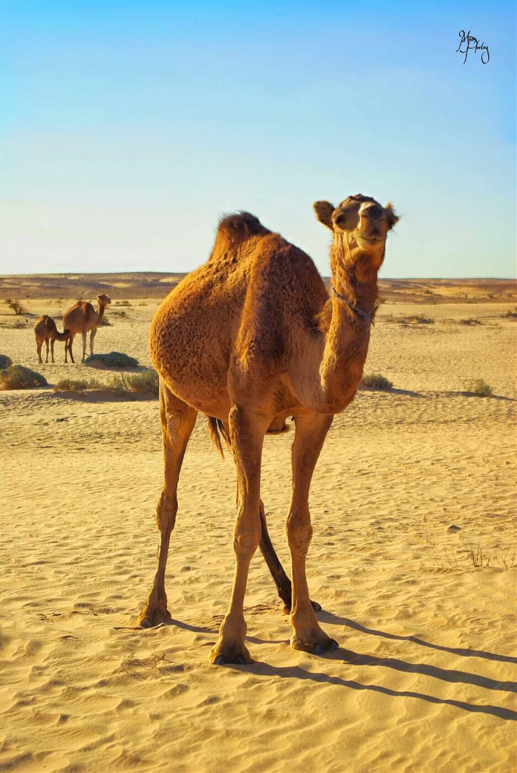 #camel #sahara #simplicity #oldlife #animal #animals #photography