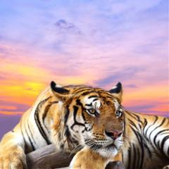 tiger999