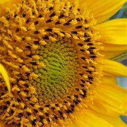 flower yellow sunflower macro samsungphotography samsungs5