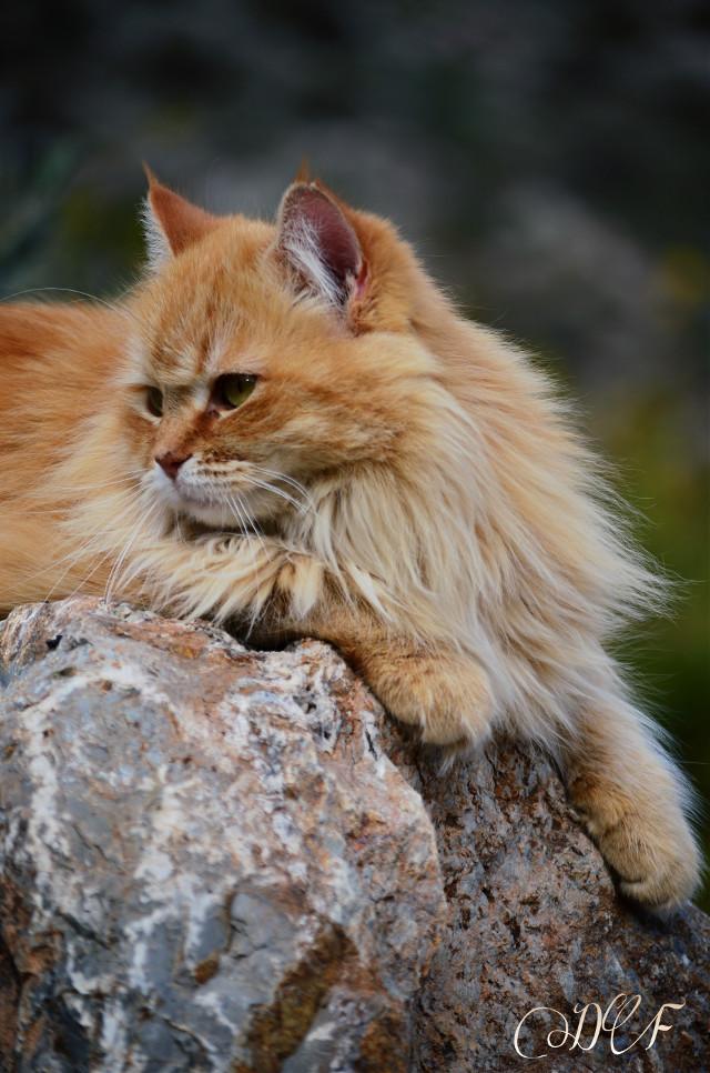 My cat Coronita♡ #petsandanimals #photography #cute #cats