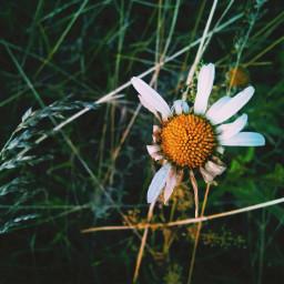 summer flower natute photography camomile