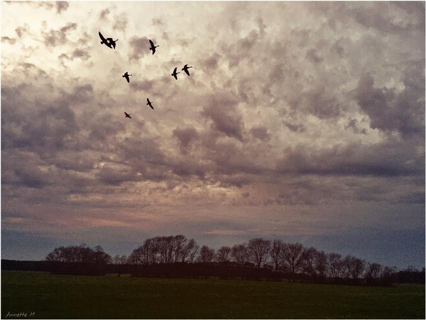 #sunset last night ...  #geese #landscape #beautifulsky