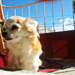 dogs baby love chihuahuas loveit