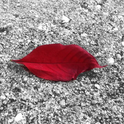 blackandwhite bw red leaf
