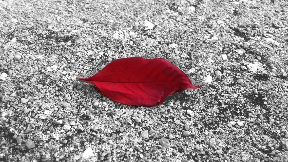 // Leaf 🍂.   #blackandwhite #bw #red #leaf