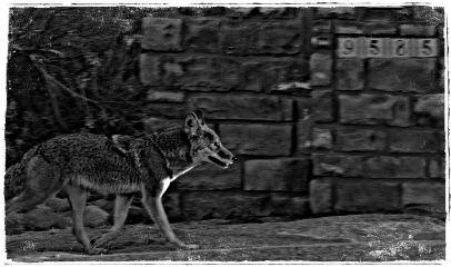 blackandwhite coyote