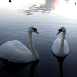 nature winter swans pennington flash