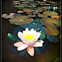 art flowerpower lilyonthewater friendship
