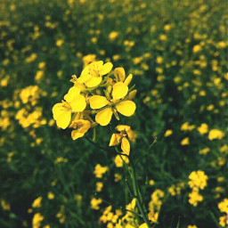 flower yellow agricultural nature beautiful