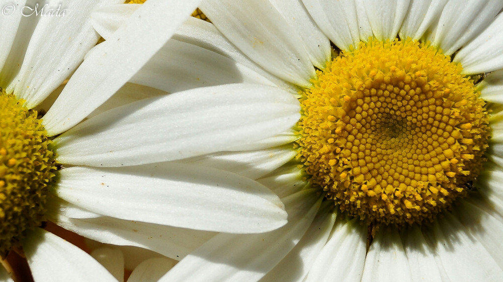 #photography #nature #oldphoto #colorful #flower #white #yellow #closeup  #daisy #petals