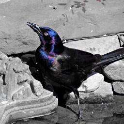 birds blackandwhite colorsplash