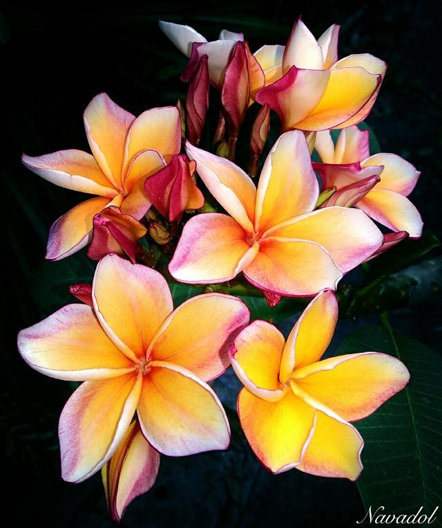 #flower #photography   Plumeria