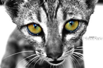 cat petsandanimals photography colorsplash blackandwhite dpcanimaleyes
