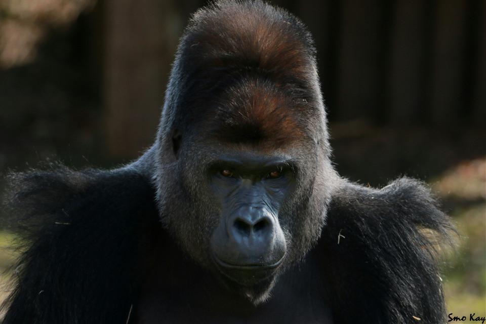 #gorilla #ape #monkey #photography #nature #petsandanimals #animals #grey  #black #wildlife