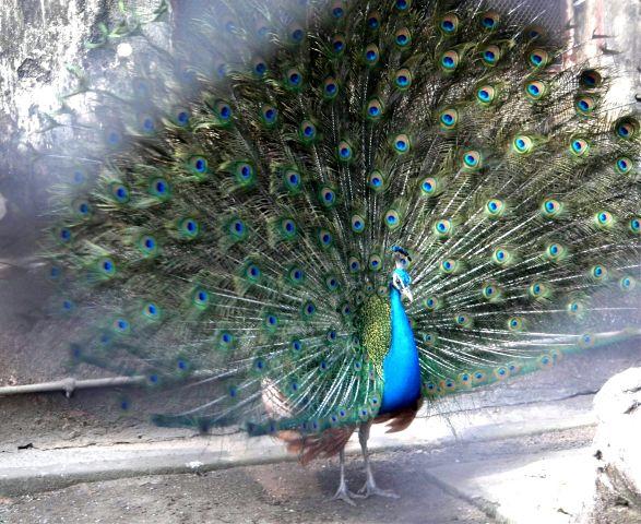 wppzoo alipoorzoo india peacock