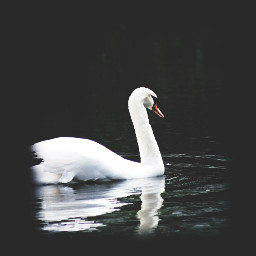 swan black white water