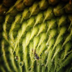 macro ant sunflower nature photography