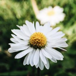 interesting daisy daisies yellow green freetoedit