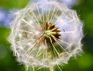 dandelion macro macro_photography macro_flower nature_collection
